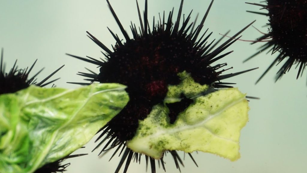 Cabbage diet makes for tastier sea urchins