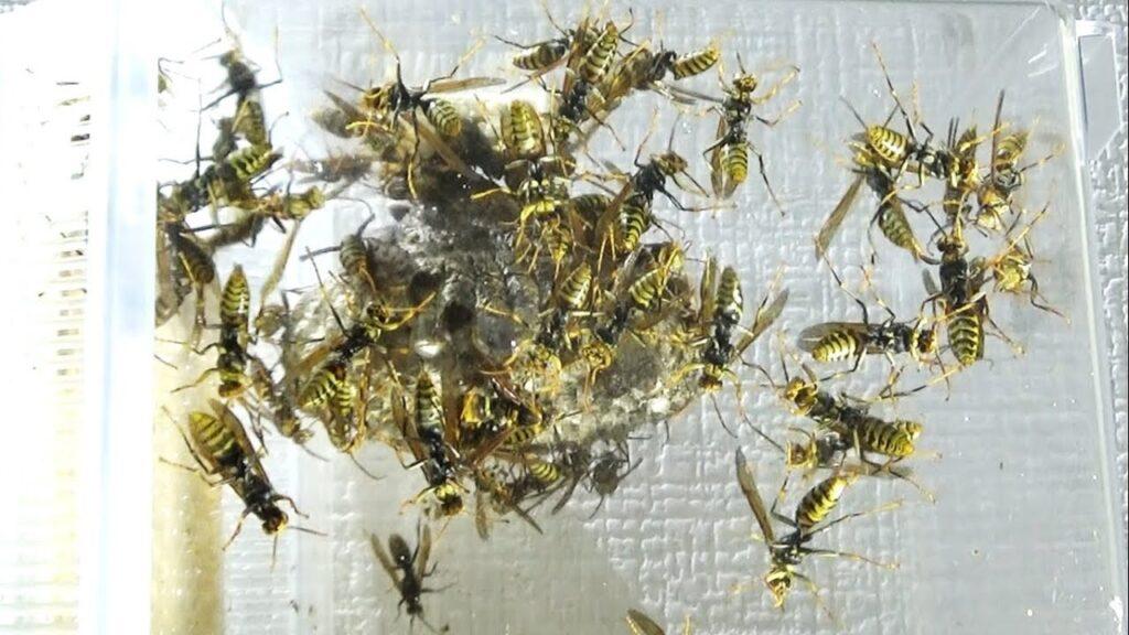 アシナガバチの巣に人工地震を起こしたら大変なことになった。panic wasp nest in artificial earthquake